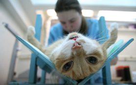 Кастрация кошек – стоит или нет?