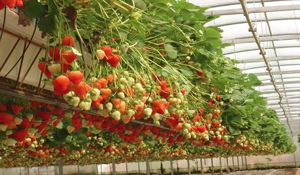Выращивание клубники зимой