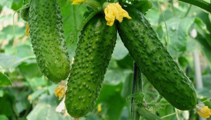 Огурец. Правила выращивания, уход и защита от болезней в открытом грунте